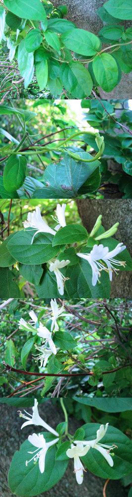 6月の標高300m~400mくらいの低山にあった植物です。 つる性の植物で、ラッパ型の白い花を沢山咲かせています。 何という名前の植物でしょうか??