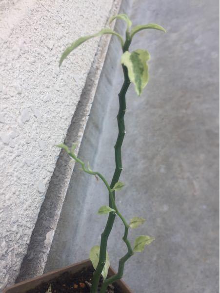 ダイソーの100円 観葉、下の葉が落ちて無様な有様です。仕立て直しをしようと思い、 植物の性質をチェックしようと思い立ちましたか、検索にあたり、植物名を思い出しません。ご存知の方、教えてください...