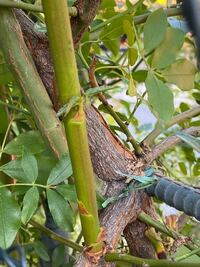 モッコウバラの枝から、違う種類の様な枝が伸びてるのに気付きました。 何か分かりますか?