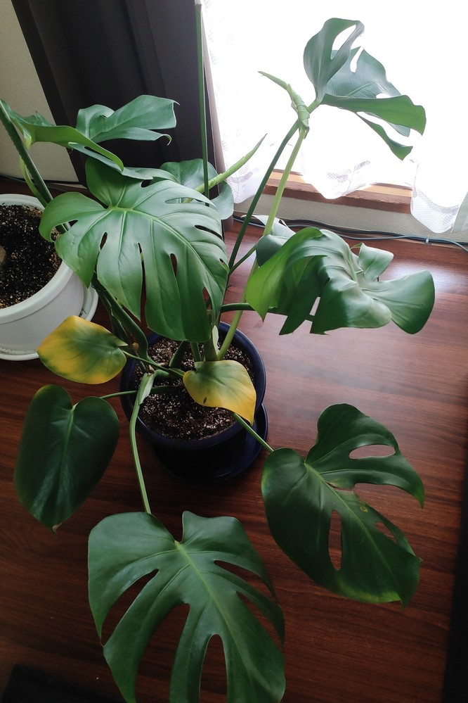 観葉植物のモンステラについて教えて頂けると助かります。 写真のように、割れ目のない小さな葉っぱのみ黄色くなってしまいます。 4月下旬あたりにも同じような状態になり、その葉っぱのみ取り除きましたが、また小さな葉っぱのみ黄色くなっています。 クルクル巻かれた新芽?はここ1ヶ月で沢山出てきており、葉っぱも割れて綺麗な緑です。それは何故か黄色くなりません。 鉢から根が出てましたので、5月に入って一回り大きい鉢に替えました。 何故小さな葉っぱのみ黄色くなってしまうのでしょうか?
