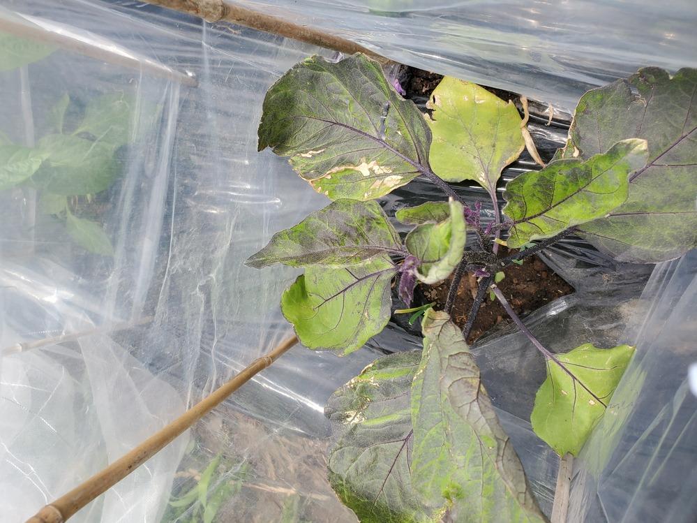 これは病気ですか?? 茄子ですが、先週植えましたっ 苗カバーではなく防虫ネットをかけていたのですが、寒かったのか偏食しました。。そしてかれているようにも見えます 病気でしょうか?まだ大丈夫でしょうか 教えてください