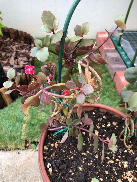 この植物はなんでしょう? 長年鉢植えで植えっぱなしになっていたのを掘り起こして植え替えました。 縦に真っ直ぐ立たず、支柱をしています。