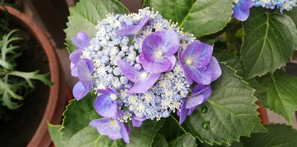 紫陽花を育てているんですが、 真花が沢山咲いて装飾花が少ないです… マリンブルーという品種なのですが ヤマアジサイだったのでしょうか… また、装飾花を増やすにはどのように 対処すればいいですか?