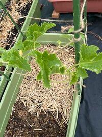 マクワウリの葉が丸まっているのですが なぜでしょうか? あとスイカとトマトも丸まっています。 肥料は数週間前にあげただけです。 水やりは土が渇いたらあげて 渇いてなければ2.3日あげない日もあります。 排水性が悪いのでしょうか?