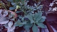 中央の写真の植物名、お分かりになる方お願いいたしますm(__)m。