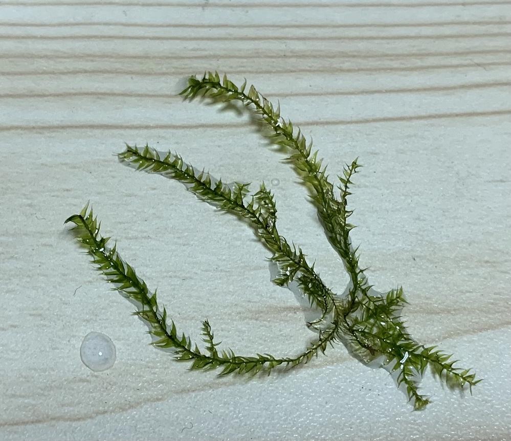これは里山の田んぼ用水路で たまたま網に入った苔のような植物です。 水中の方が むしろ生き生きしています 苔ではなくて…水草でしょうか? 2.3cm程の小さい植物です。 どなたかおわかりになりますか? 宜しくお願い致します