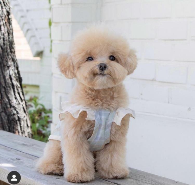 この犬の犬種わかる方いましたら、教えてください。 トイプードルの何かのミックスのような気がするのですが