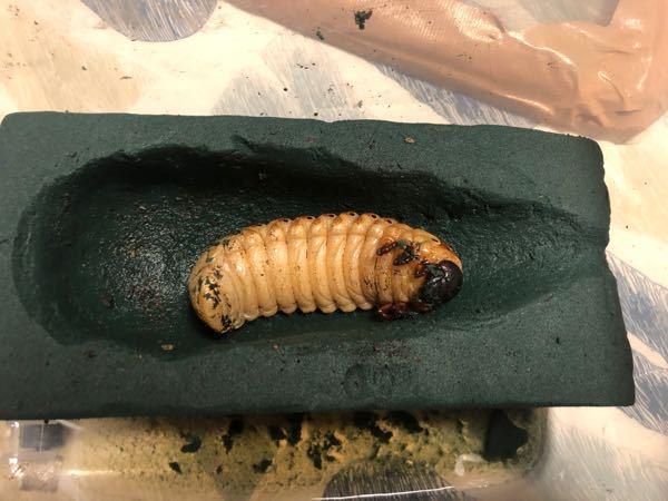 ヘラクレスオオカブト この蛹室って少し小さかったりってしますか?蛹室の大きさが適切でもこの幼虫の位置って蛹化した時にツノが壁にぶつかりませんか?