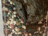 アカハライモリを2匹買っています。1匹はずっと水中の中にいるのですが、もう1匹はずっと石の上にいます。そのイモリちゃんが、水中にいる所を見たのは飼い始めてすぐの時だけです。 縄張り意識で、石の上にいるイモリちゃんが水中に入れなくなっているのでしょうか?