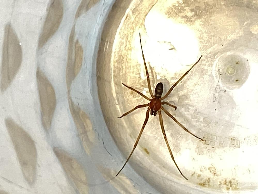 蜘蛛に詳しい方、この蜘蛛の種類をぜひ教えてください! 今日、家の洗面台のコップの中に蜘蛛が入って出られなくなっているのを見つけました。 色々検索したのですが、この蜘蛛の種類がわかりません。下に画像を載せます。 物知りな方、ぜひご教示ください。 体の大きさは、足の端から端までで3cmくらいの小さい蜘蛛です。 可愛いので、あわよくば飼いたいと思っているのですが、エサは何がよいのでしょうか? よろしくお願いします。