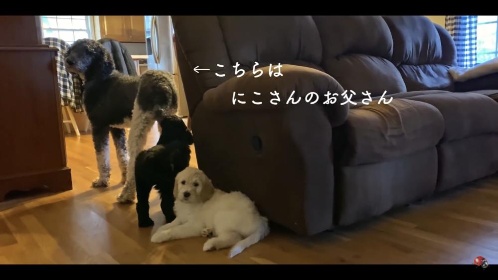 ブイログ系YouTuberのnekoniwaさんの飼っていらっしゃる画像の白いワンちゃんの犬種を教えてください!奥の黒いわんちゃんがお父さんらしいです!