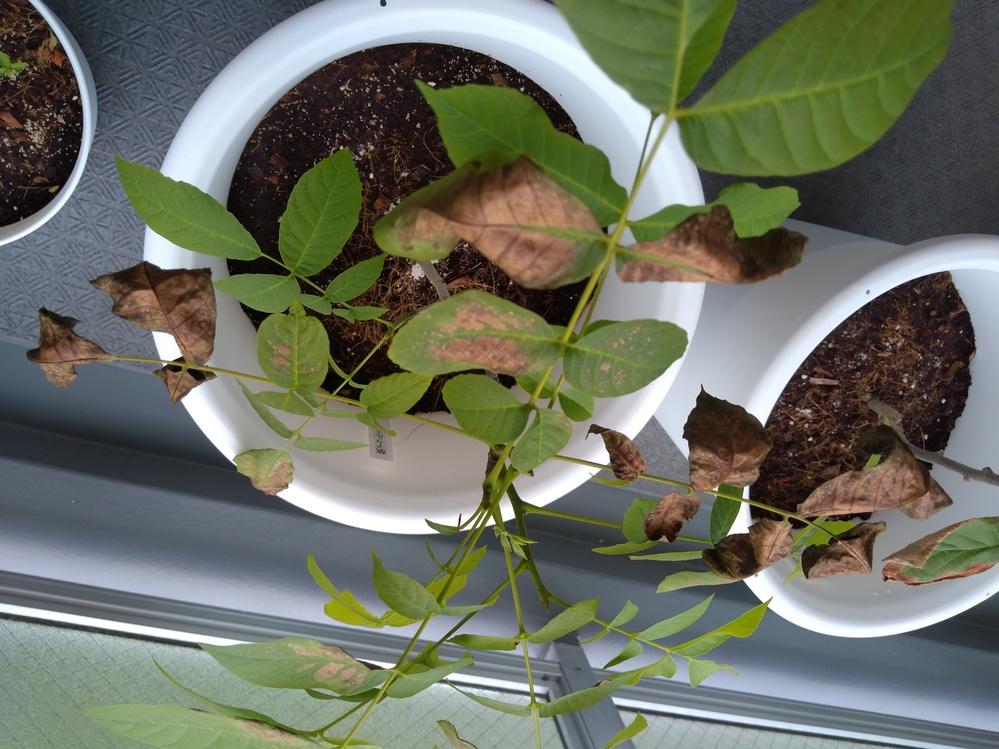 キウイの葉の周りが茶色くなってきら、隣に並べて置いているくるみの苗の葉も茶色くなってきました。何かの感染症でしょうか? 原因と対処方法を教えていただきたいです。