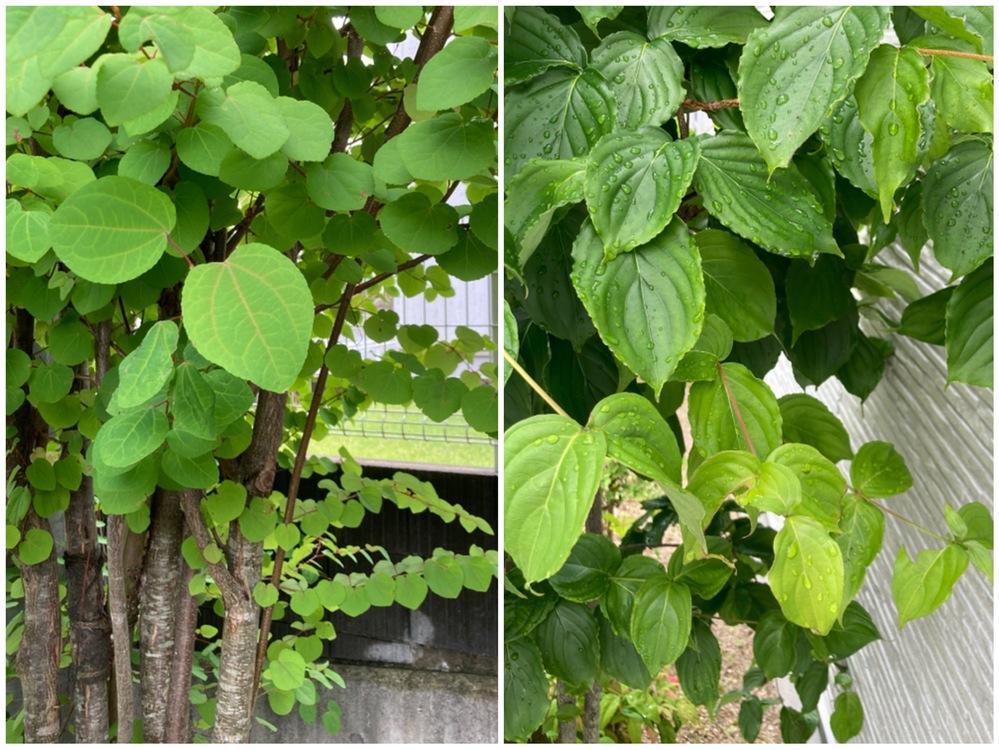 この植物(2種類)の名前を教えてください。 建売で購入した家に初めから植えてあった植栽なのですが、この2つだけどうしても名前が分かりません。 知りたいと思いつつ9年も経ってしまいました…。剪定も...