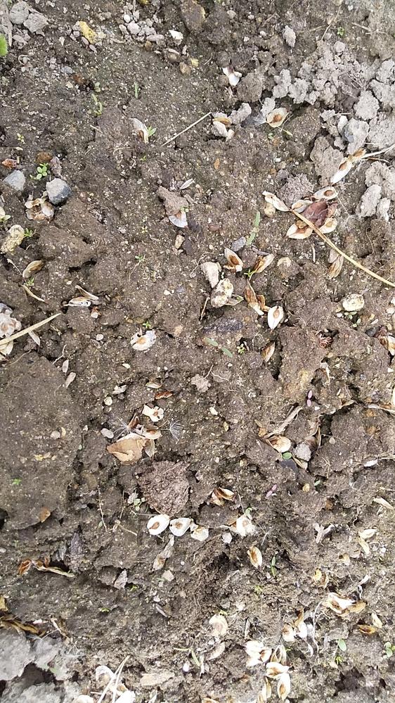 畑になんかの種みたいのが沢山あります。なんですか❔