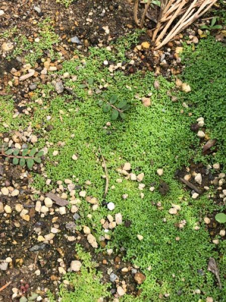 この草の名前を教えてください 繁殖力が非常に強く庭を埋め尽くす勢いで増えています。
