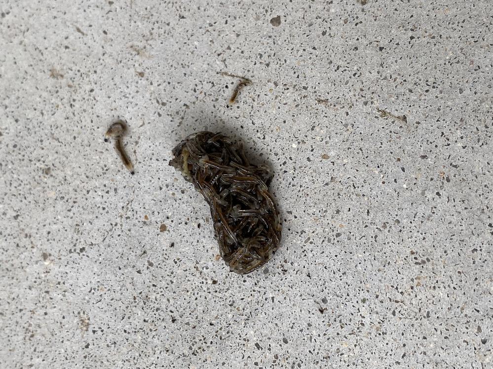 小さな虫が群がってかたまりになり、うごめいていました。 気持ち悪いです。なんという虫でしょうか?