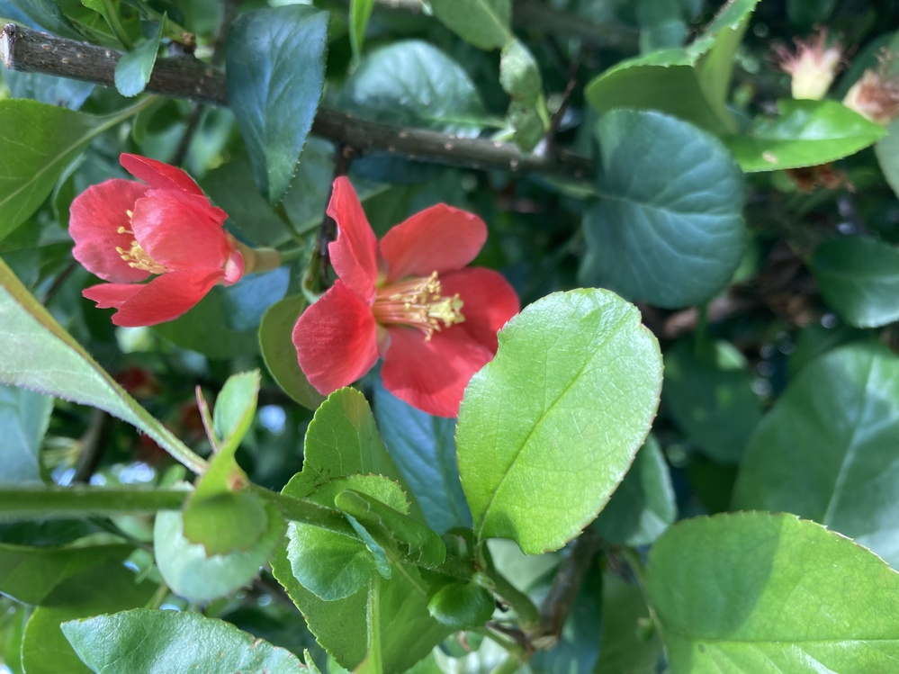 この赤い花はなんでしょうか? 札幌市内中心部の公園に植栽されていた木の花です。 お分かりになる方いらっしゃいましたら、よろしくお願いいたします。 葉っぱが陽の加減で青みがかっていますが、画素...