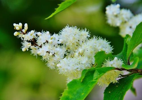 この樹木の花は何というのでしょうか? 山口の山間で見かけたものです。