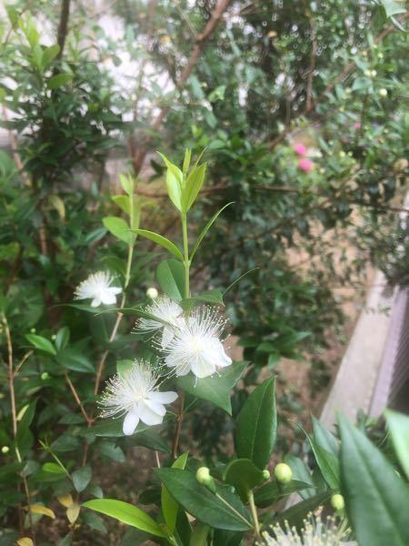 このお花は何というのでしょう。花壇に咲いています。
