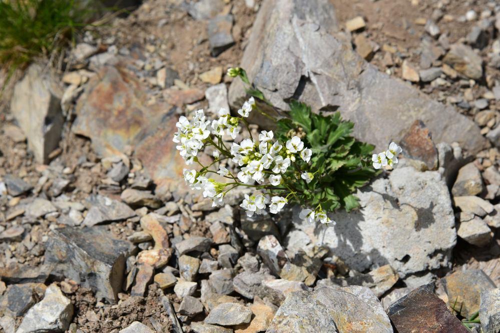 なんという花でしょうか。 甲斐駒ヶ岳で撮りました。