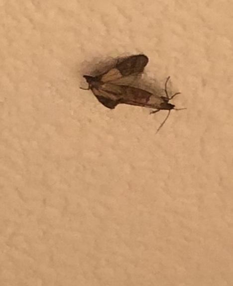 この蛾は何の種類ですか? 毒ありますか? 玄関に数日間出続けてまいってます。 後尾中のも3組いたので駆除しましたが、恐ろしいです。 周囲に卵見つかりませんでしたが、孵るのは早いのでしょうか、、汗