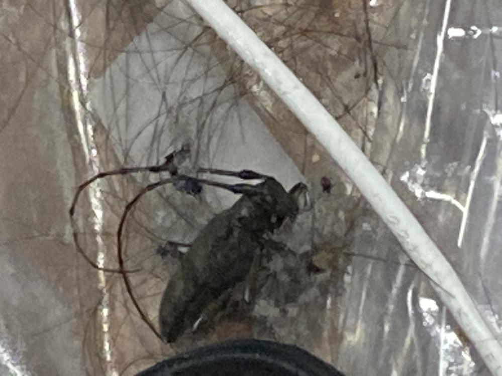汚くてすいません。 先程このような虫が家の中にいてゴキジェットをかけたのですがこれはゴキブリですか? すごい大きい音で飛んできたのでゴキでは無いのかなと思い質問しました。