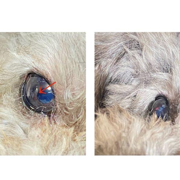 犬の目の病気について教えて下さい。 9月で7歳のプードル です。 左写真矢印の所の裏側に右の写真の様な赤いできものが出来ています。 説明が上手くできなくてわかりにくいと思いますがなんの病気の可能性がありますか? ネットで調べてみても同じ様な病気?が見つけられませんでした。 目ヤニや涙、犬本人は全く違和感もない様で気にする様子もなく普通です。 ただできものが出来ているだけの状態です。 獣医さんには仕事の都合上、火曜日まで行けないのですがとても心配で獣医さんに診てもらうまでにどんな病気の可能性があるのか知りたく質問させていただきました。 2ヶ月ほど前に同じ目の黒目の端が白くなっているのに気づき、獣医さんに見てもらった所、虹彩が炎症を起こしているという事で目薬を処方して頂き経過観察の状態でした。 ちなみにその時に緑内障の検査をしてもらいましたが異常無しでした。 長文を読んでいただきありがとうございました。 何かヒントやアドバイスなどありましたらよろしくお願いします。