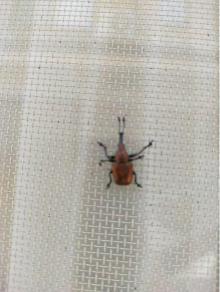 再掲です ゾウムシのチョッキリ類の虫だそうなのですが何という虫でしょうか?