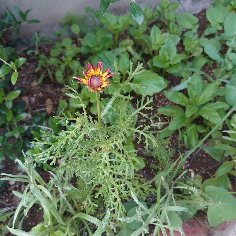 花壇のこの花は何でしょうか? 調べたけど分かりませんでした。 コスモスの茎を少したくましくしたような茎葉、今日(6/12)開花です。