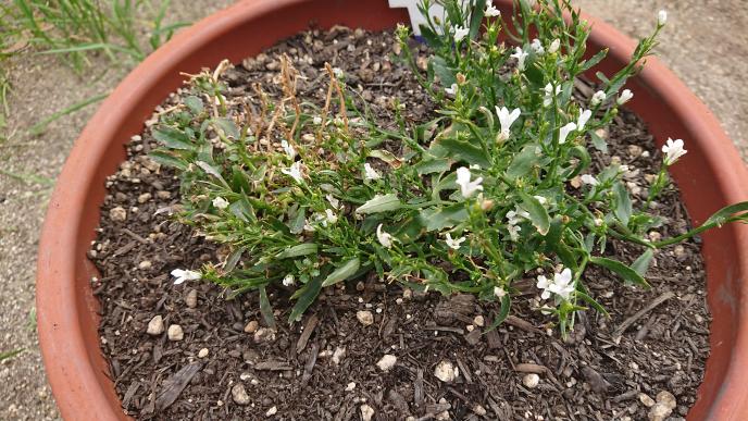 5月15日に植え付けて、半月ほどで、あっという間枯らしてしまいました。 この土、次の花を植えるのにそのまま使えるでしょうか? 再生の作業が必要でしょうか?