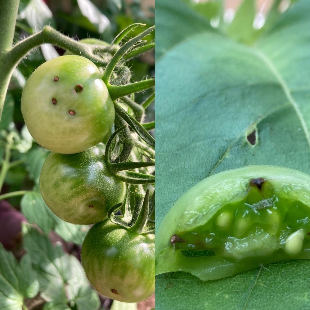 ミニトマトの実に刺さっているトゲ?について 識者の皆様ご教示ください。 家庭菜園でミニトマトを育てています。 実が大きくなってきたのですが、半数くらいの実に画像のようなトゲ?が刺さっております。 最初は虫による食害かと思ったのですが、試しに切ってみると虫ではなく画像のとおりでした。 これってなんなんでしょう。 このまま育てて良いのか、食べられるのか、調べても出てこず、色々と心配です。
