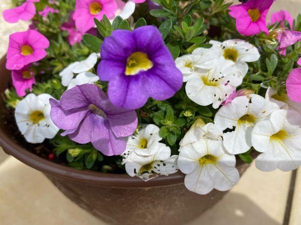 花の虫食い跡?について ここ最近、特定の花にのみ虫食い跡の様なものが毎朝水やりの際に確認できます。 恥ずかしながら、気に入ってこのお花を買ったものの名前が分からず、対処の仕方もわかりません。 この