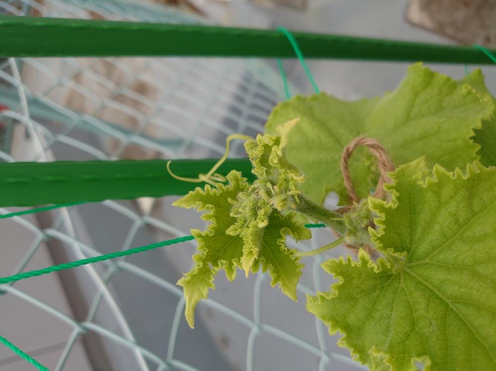 GWにキュウリの苗をプランターに植えました。 日当たりが悪かったので土がなかなか乾かず、葉の色が変わってしまったので屋上に出しました。 今度は縦に延びなくなってしまいました。成長点はこのような感...