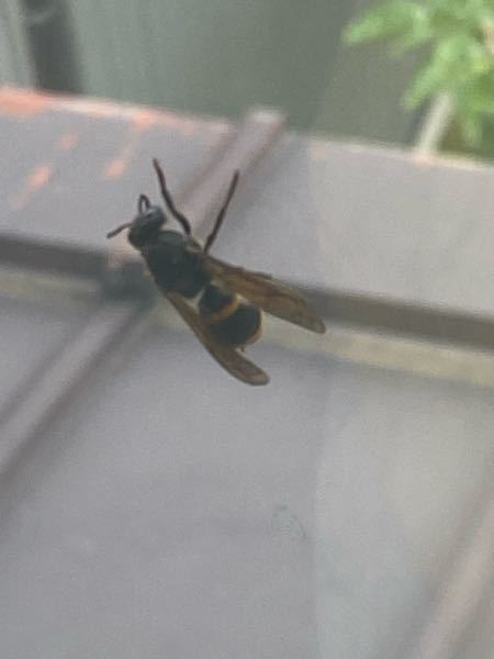見えづらくてすみません。 毎年この時期になると窓を閉めていても中に入ってくるハチがいるのです…。 調べてみたところツマアカスズメバチのようなのですが、ここは東北。現在そのハチが確認されている地域...