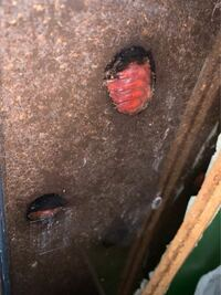 カブトムシの幼虫が、ケースの底でこのような状態になっていました。もしかして死んでしまったのでしょうか?生きてるのであれば、なにかしてあげたほうがいいですか? ペットボトルに入れている幼虫は、蛹室?を作って動いてるようですが、こちらは動いてる様子がありません…