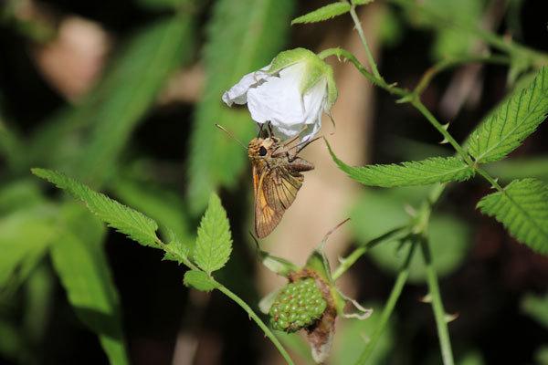 昨年7月上旬に、九重町長者原へ観光に行った際、撮った蝶の写真です。白い花に小さい蝶が止まっています。 この蝶と止まっている植物(野ばら?)の名前を知りたいです。自然愛好家の方、分かればよろしくお願いします。 もう一つあるのですが、続けて投稿してもよいでしょうか?
