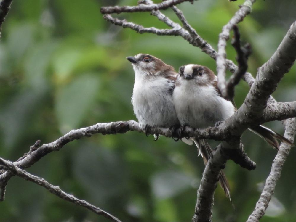 今、自宅の前の桜の木にたくさん飛んできたのですが、この子達はエナガでしょうか? いつも動きが早くてすぐに見失い写真を撮れなかったのですがこの子達は毛繕いに必死でした。またこの子達はもう大人でしょうか?