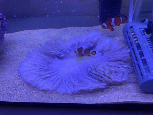 魚関係の質問です 今日水槽に入れたセンジュイソギンチャクが変な形をしてます、これってやばいですか?