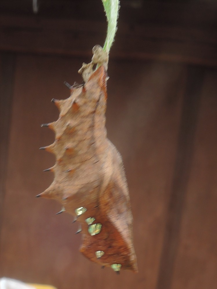 花の葉についていた2cm程の蛹です。下の方に数個の突起があり黄金色に輝いています。光るものを備えている蛹を初めて見ました。 これは成虫になったら何になるのて゛しょうか。