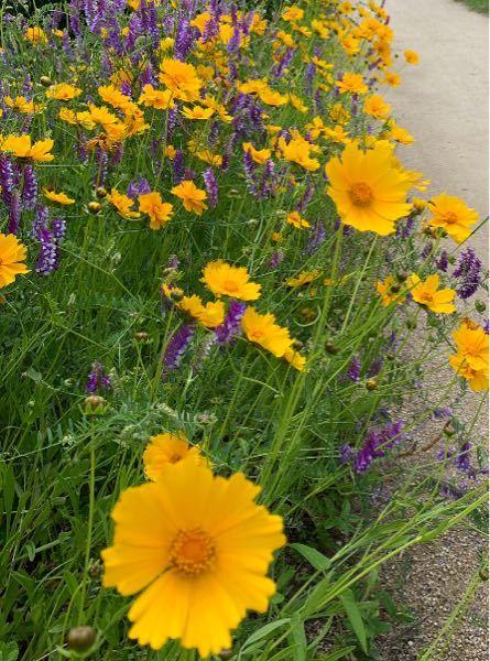 この時期よく見かける、この黄色い野花の名前がわかる方いますか? 綺麗で癒されますが、特定外来生物で、育てたら罰せられるお花だそうですね… 摘んできて飾ったりしてましたが、毒性などあるでしょうか?