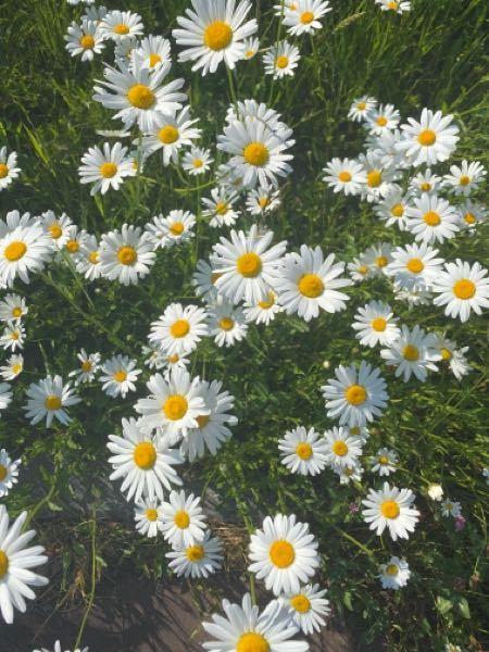 夏の初めに咲くこの花なんですけどなんて言う花ですか?においがきついので気になりました。