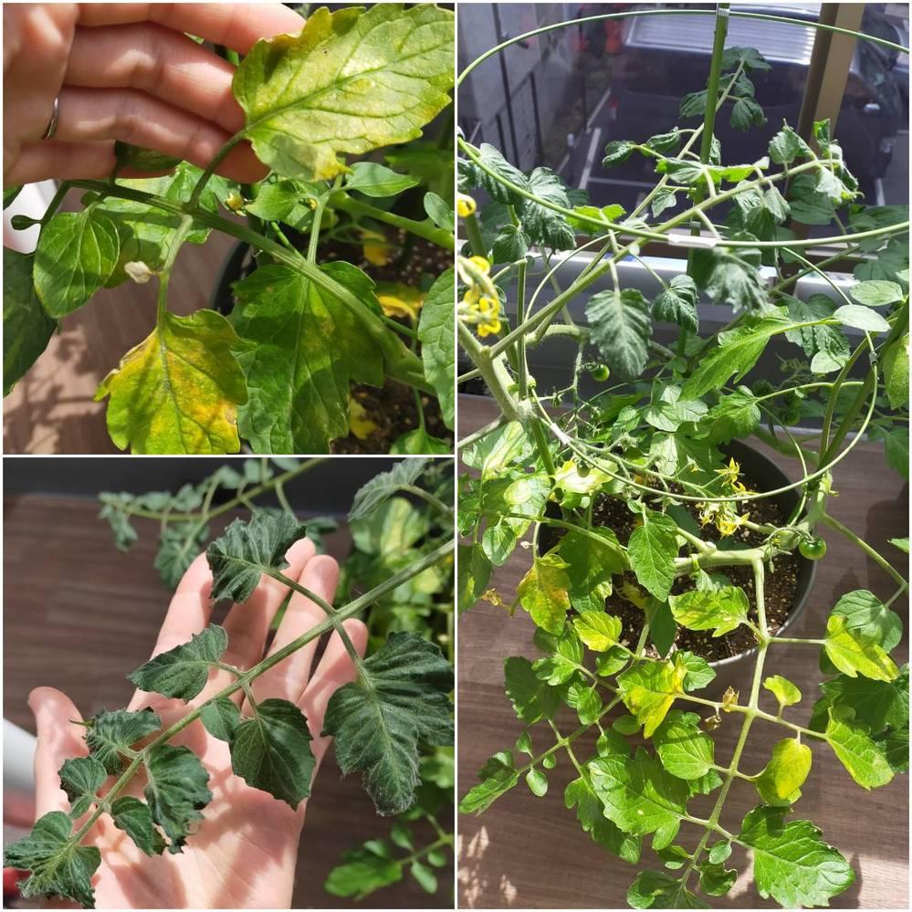 トマトが大好きな娘のためにと、プチトマトの苗を頂いたので、家庭菜園に初チャレンジしています。 鉢や土や肥料は、趣味の園芸に出ている深町さんを主に参考にしました。 https://www.nikkan-gendai.com/articles/view/life/272760 最近以下の症状が見られるようになりました。 ①新しく出てくる葉が、裏側に向かって反り気味で縮れていて、伸びても改善しません。 ②下の方の段の葉が一部黄色く変色が始まり、やや増えています。 これらの症状が出る前のエピソードとして、主茎と脇芽の2本仕立てで育てていたのですが、伸びてきた枝を固定する際に1本折ってしまい(脇芽だった方)、消毒したハサミで除去しました。 日ごとにトマトの花は増え、実もだんだんと増えているので、娘(2歳)も楽しみにしています。 原因や対処法など、お分かりになる方がいらっしゃったら、教えてください。よろしくお願いします。