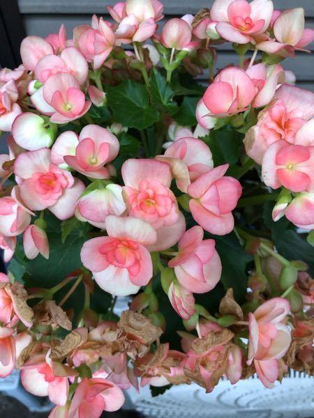 【画像あり】この花の名前教えて下さい。 車を納車するときに貰った花なんですが、草木に疎い為なんの花か分かりません。 2週間前くらいに貰って、土が乾いてきたら水をあげてますが、1週間前くらいから花が枯れ落ちて来ました。肥料が必要なのでしょうか? 貰った際にお気持ちだけ受け取れば良かったのですが、持って帰ってきてしまった以上 ダメにしちゃうのも可哀想なのでアドバイスが欲しいです。 それと、鉢は大きくしてあげた方が良いのでしょうか? 宜しくお願いします。