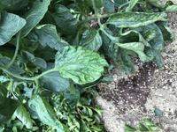 家庭菜園でトマトを作っていますが、 ↓ の様な葉っぱですが、何が原因ですか?  ダニ? 病気? それとも? かれこれ5年は連作をしています。 対処法を教えてください。