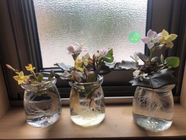 カランコエに詳しい方、初心者のため教えてください。 鉢植えのカランコエを室内で育てていましたが、おそらく土が合っていないのと風通しの悪さ等でカビが発生しダメにしてしまい、まだ生き残っていた茎の部分をいくつか切って水差しにして窓際に置いていました。 今は写真のように根が生えてきてお花も咲いてきています。 元々根が生えてきたら鉢に植えようと思っていましたが(多肉植物用の土を用意してます)、お花も咲き元気そうなので、鉢に植えてまたカビさせてしまうよりこのままの方がいいのかなと思ってきたのですが、ずっと水差しというのはよろしくないのでしょうか? また、根が結構長くなってきているのですが、カットしてもよいものでしょうか?