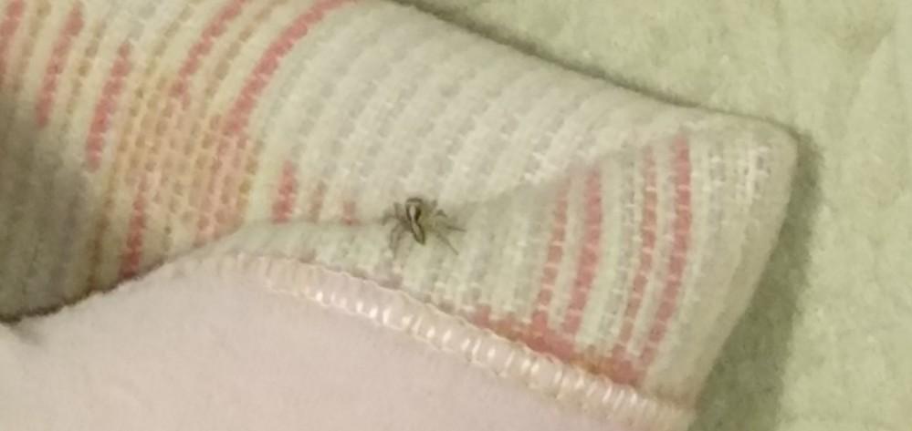 家の中に蜘蛛がいました。 これは何という蜘蛛ですか? 退治した方が良いですか?