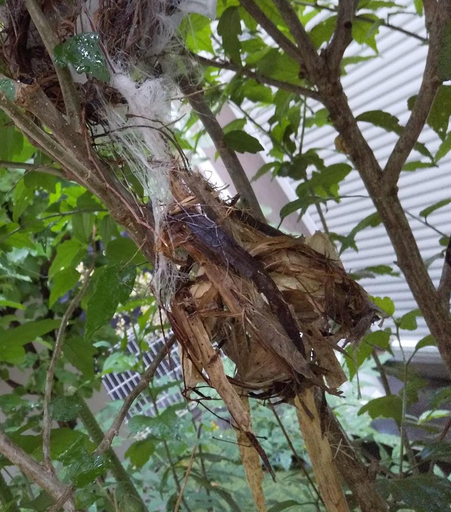 庭のヒヨドリの巣が壊されていました。 まだ毛も生えてないヒナが4匹いたのに、下に落ちてもいませんでした。 カラスでしょうか? 隣家との間の僅かな庭で、カラスが来ることは今までなかったのですが、これに気づく30分ほど前に、近くでカラスを威嚇して追い払う親鳥2羽の姿を見かけました。 壊された巣のところに親鳥が来て、しばらく鳴いてまた飛んで行く姿を見て、切なくなりました。 見つかりにくい場所だと思っていましたが、考えられる鳥を教えてください。