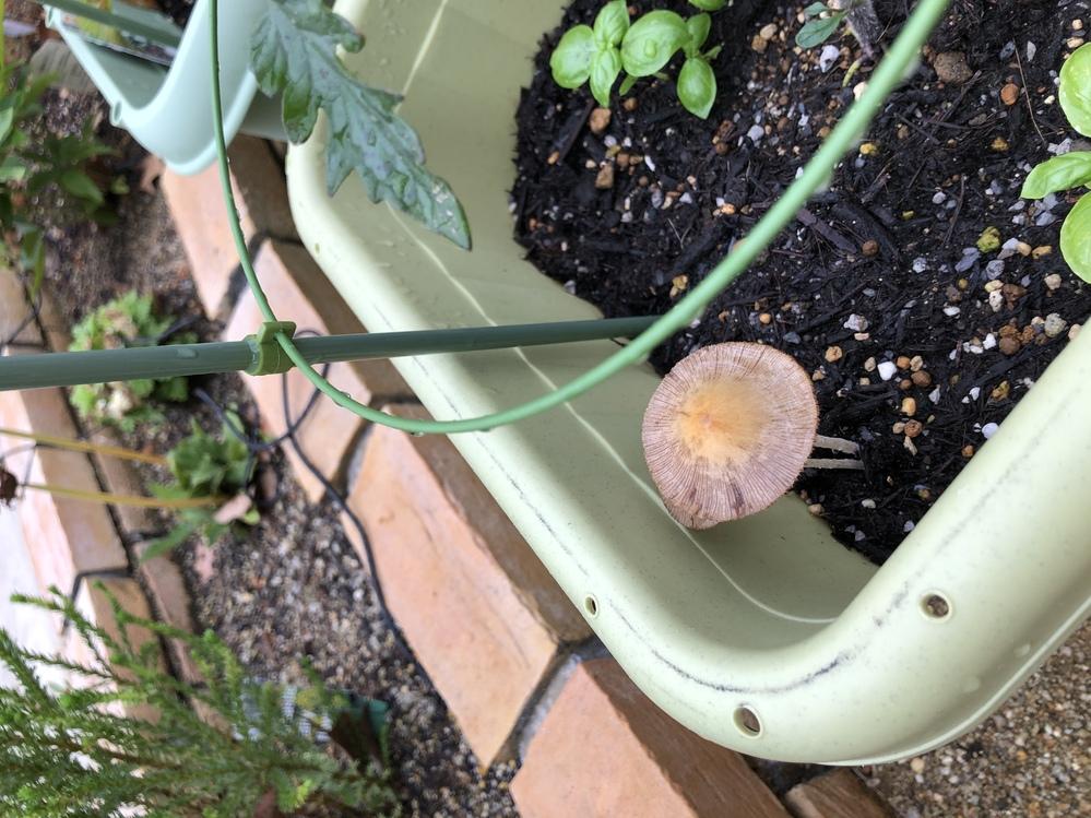 トマトを植えているプランターにキノコが生えてきました。 なんというキノコでしょうか? またトマトに影響はありますか?