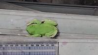私は長野県に40年以上住んで居ますがこんな大きなアマガエルに似たカエルを見たのが初めてです。 体長5.5cmは有ると思いますが何ガエルなのでしょうか?
