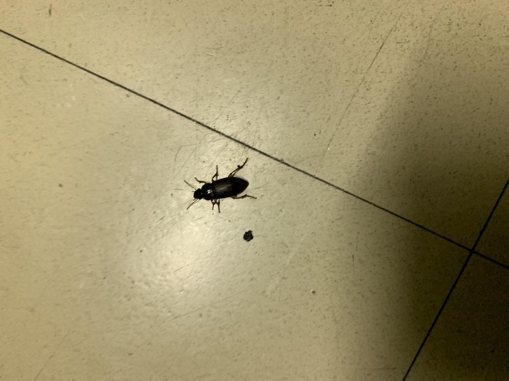 この虫いっぱい部屋に入ってくるんですが名前はなんて言うんでしょう?